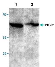 PAB9564 - Cyclooxygenase 2