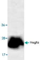 PAB9578 - VEGF-A