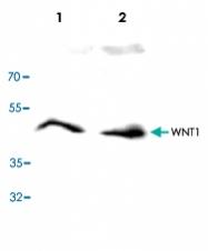 PAB9582 - WNT1