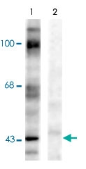 PAB9611 - Ephrin-B1