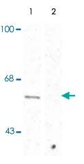PAB9648 - Synaptotagmin-1