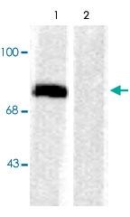 PAB9658 - Synapsin-1