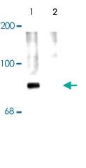 PAB9659 - Synapsin-1