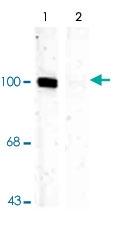 PAB9661 - Glutamate receptor 1 / GLUR1