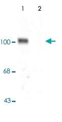 PAB9662 - Glutamate receptor 1 / GLUR1
