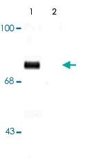 PAB9664 - Synapsin-1