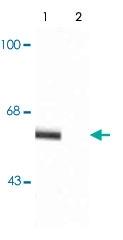 PAB9667 - Synaptotagmin-1