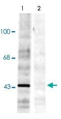PAB9690 - Ephrin-B1
