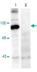 PAB9697 - Dynamin-1