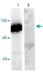 PAB9698 - Dynamin-1