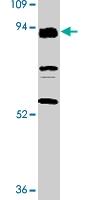 PAB9729 - CD283 / TLR3