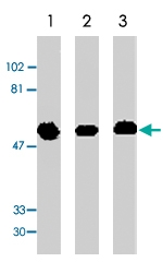 PAB9889 - GFRA1 / GDNFR-alpha