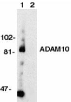 PAB9928 - CD156c / ADAM10