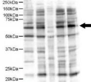 PAB9930 - Protein ajuba / JUB
