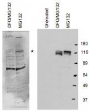 PAB9946 - HIF1A / HIF1 alpha