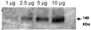 PAB9962 - CD243 / MDR1