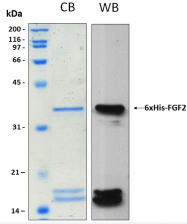 PRO-50052-0025 - FGF basic / FGF2