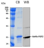 PRO-50053-0050 - FGF basic / FGF2
