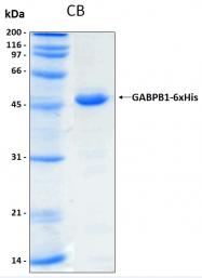 PRO-50068-0010 - GABPB1