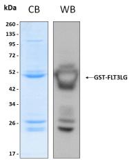 PRO-50072-0010 - Flt3 ligand