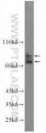22401-1-AP - ACSL4