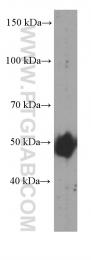 60340-1-Ig - Adipophilin / ADFP