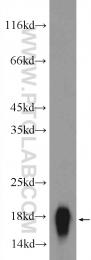 12275-1-AP - AGR2