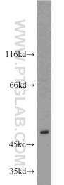 15642-1-AP - AICDA / AID