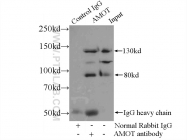 24550-1-AP - Angiomotin