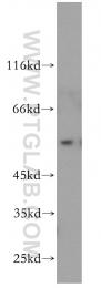 11964-1-AP - Angiopoietin-5