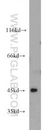 10396-1-AP - ANGPTL7