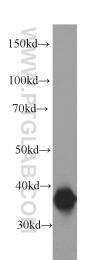 60051-1-Ig - Annexin A2 / ANXA2