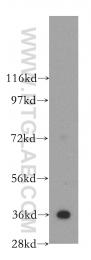 11060-1-AP - Annexin A5 / ANXA5