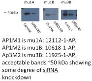 10618-1-AP - AP1 complex subunit mu-2 / AP1M2