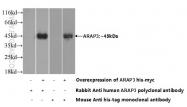 22578-1-AP - ARAP3 / CENTD3
