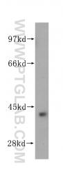 14825-1-AP - Arginase-2