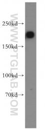 55165-1-AP - ARHGAP5