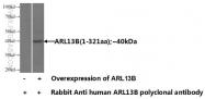 17711-1-AP - ARL13B / ARL2L1