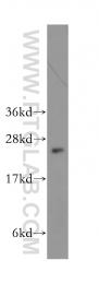 11694-1-AP - ARL5B / ARL8