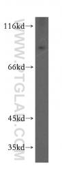 12810-1-AP - ARNT2