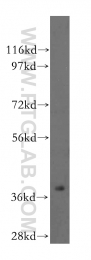 15450-1-AP - ASNA1 / ARSA
