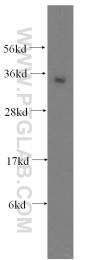 11946-1-AP - ATF1