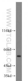 20382-1-AP - APG4C / ATG4C