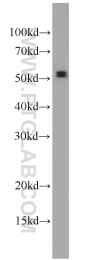 55190-1-AP - PNPLA2 / ATGL