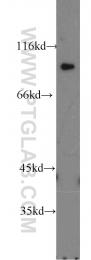 16836-1-AP - ATP1A2