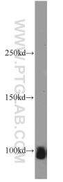 55179-1-AP - ATP1A2