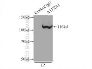 22361-1-AP - ATP2A1 / SERCA1