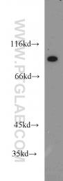 18692-1-AP - ATP4B