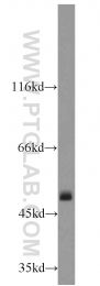 14676-1-AP - ATP synthase subunit alpha