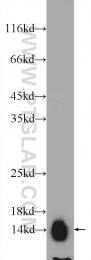 25316-1-AP - ATP6V1G2